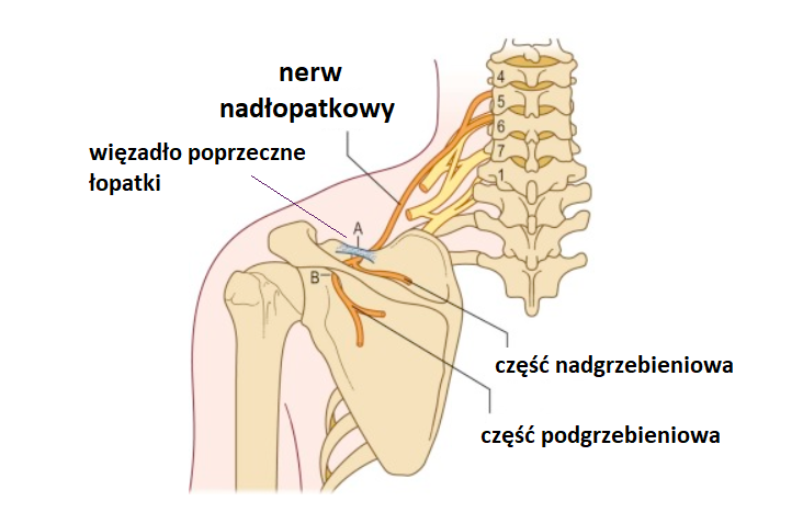 nerw nadłoaptkowy1 1 - Nerw nadłopatkowy- dlaczego sprawia tyle problemów?